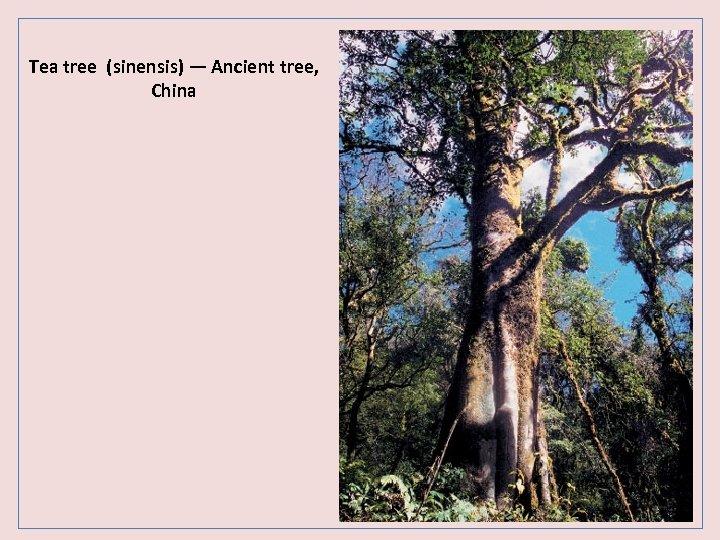Tea tree (sinensis) — Ancient tree, China