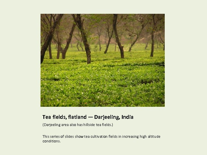 Tea fields, flatland — Darjeeling, India (Darjeeling area also has hillside tea fields. )