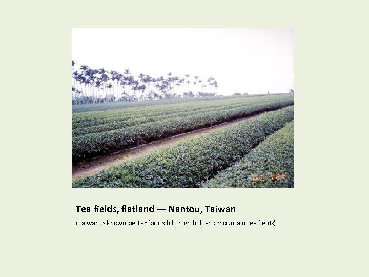 Tea fields, flatland — Nantou, Taiwan (Taiwan is known better for its hill, high
