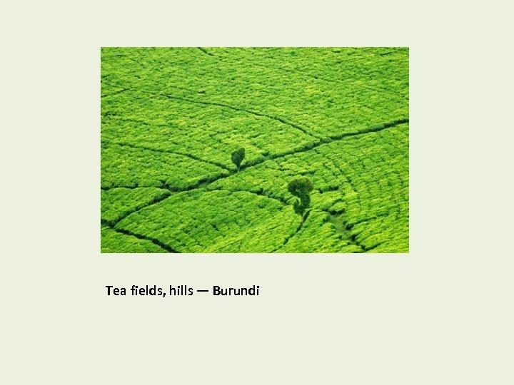 Tea fields, hills — Burundi