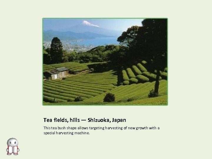 Tea fields, hills — Shizuoka, Japan This tea bush shape allows targeting harvesting of