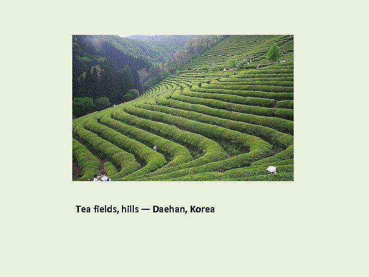 Tea fields, hills — Daehan, Korea