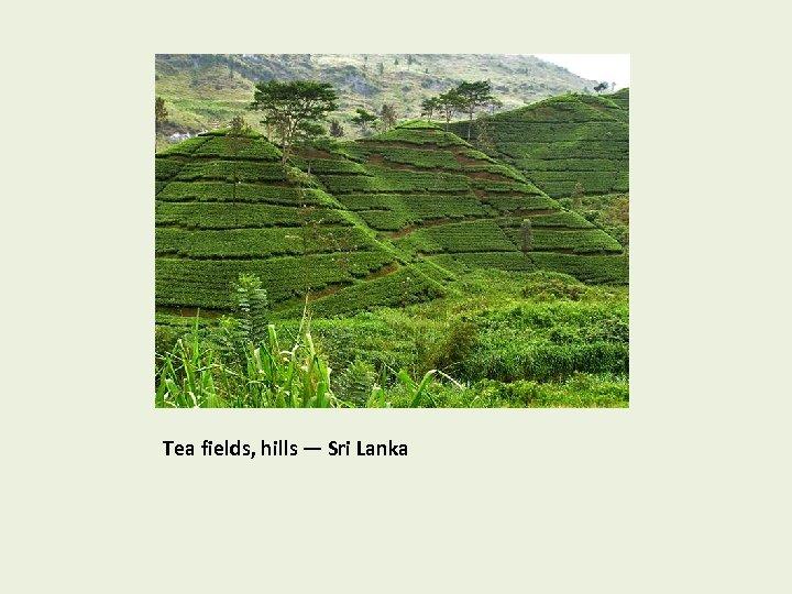Tea fields, hills — Sri Lanka