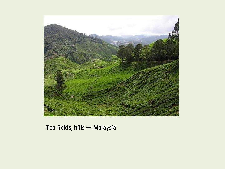 Tea fields, hills — Malaysia
