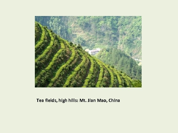 Tea fields, high hills: Mt. Jian Mao, China