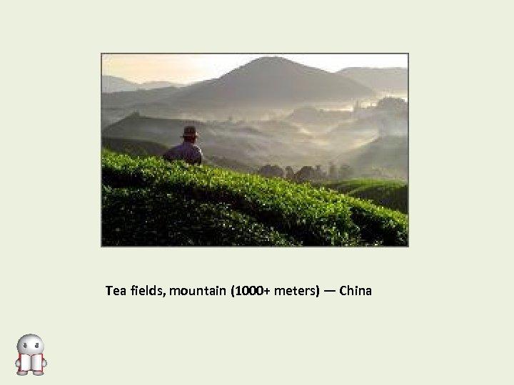 Tea fields, mountain (1000+ meters) — China