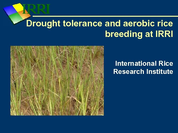 Drought tolerance and aerobic rice breeding at IRRI International Rice Research Institute