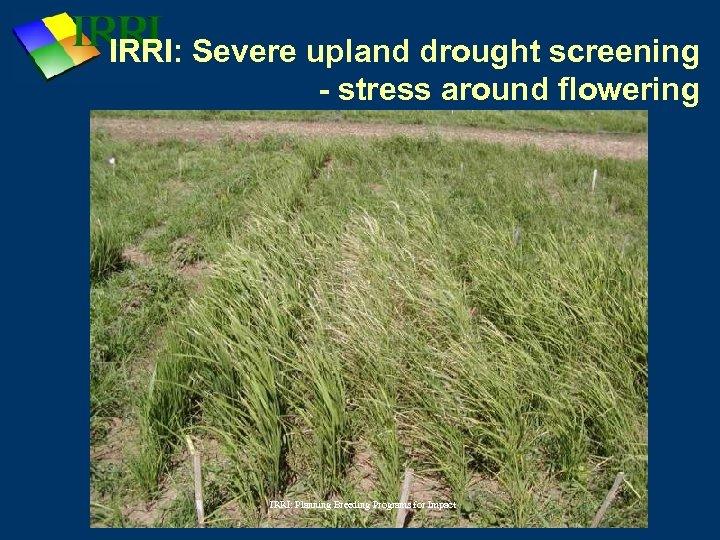 IRRI: Severe upland drought screening - stress around flowering IRRI: Planning Breeding Programs for