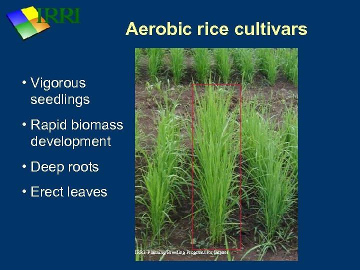 Aerobic rice cultivars • Vigorous seedlings • Rapid biomass development • Deep roots •