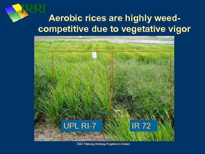 Aerobic rices are highly weedcompetitive due to vegetative vigor UPL RI-7 IRRI: Planning Breeding