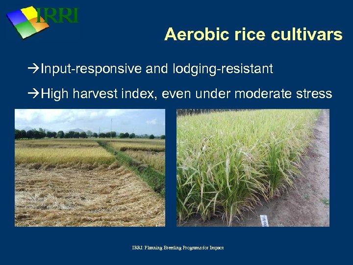 Aerobic rice cultivars Input-responsive and lodging-resistant High harvest index, even under moderate stress IRRI:
