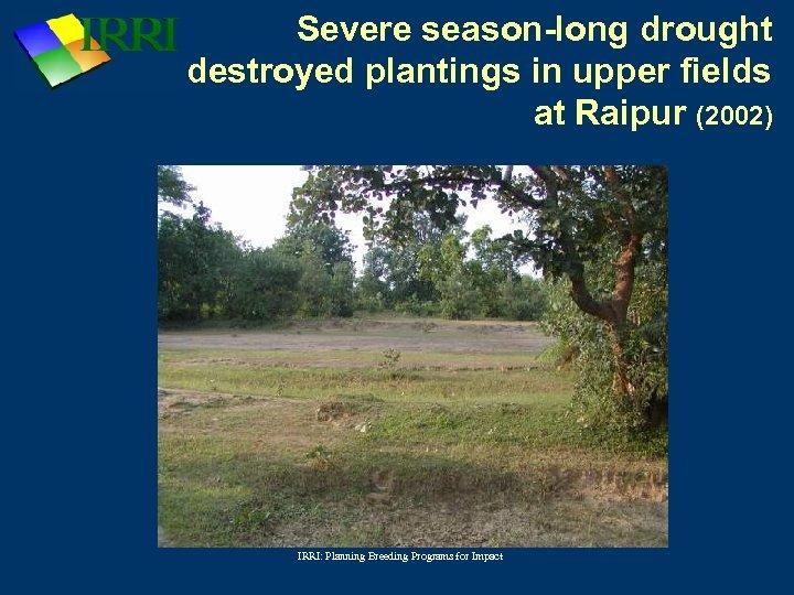 Severe season-long drought destroyed plantings in upper fields at Raipur (2002) IRRI: Planning Breeding