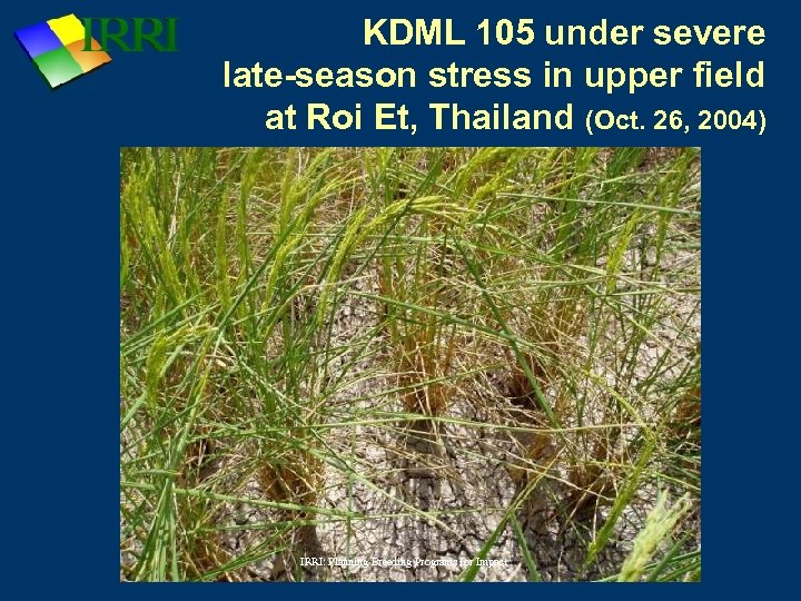 KDML 105 under severe late-season stress in upper field at Roi Et, Thailand (Oct.