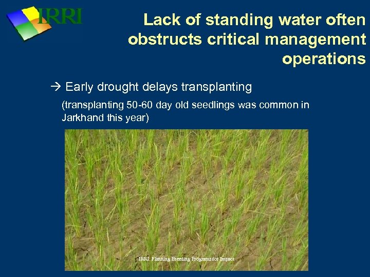 Lack of standing water often obstructs critical management operations Early drought delays transplanting (transplanting