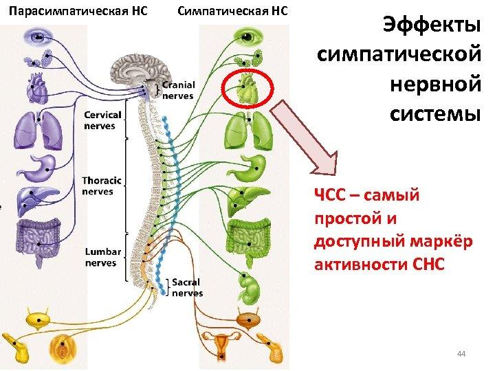 Парасимпатическая НС Симпатическая НС Эффекты симпатической нервной системы ЧСС – самый простой и доступный