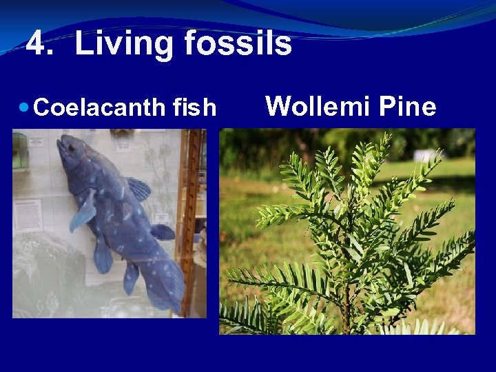 4. Living fossils Coelacanth fish Wollemi Pine
