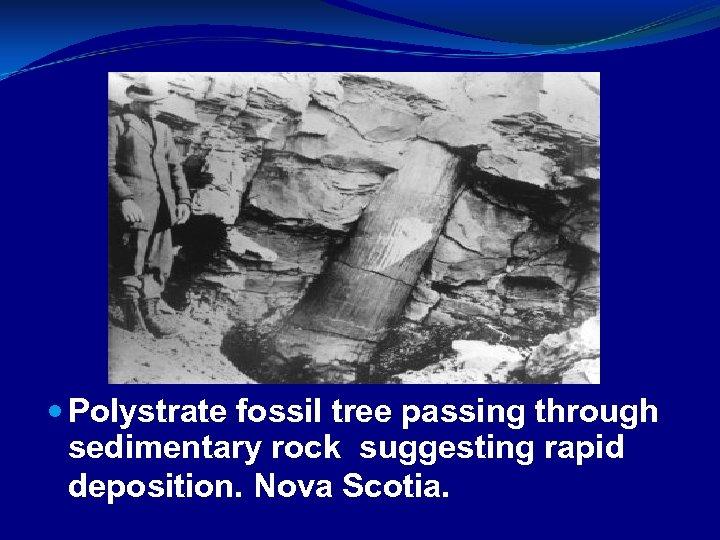 Polystrate fossil tree passing through sedimentary rock suggesting rapid deposition. Nova Scotia.