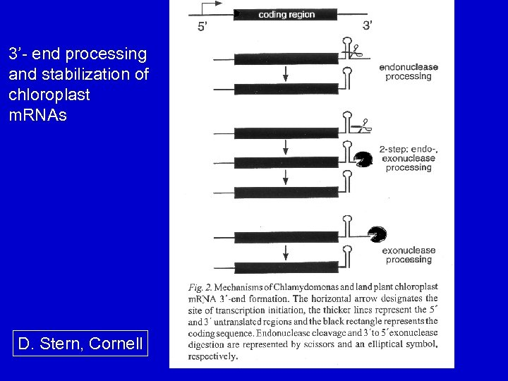 3'- end processing and stabilization of chloroplast m. RNAs D. Stern, Cornell