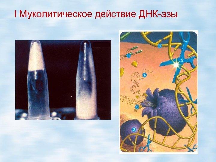 l Муколитическое действие ДНК-азы
