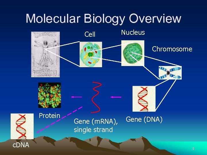 Molecular Biology Overview Cell Nucleus Chromosome Protein c. DNA Gene (m. RNA), single strand