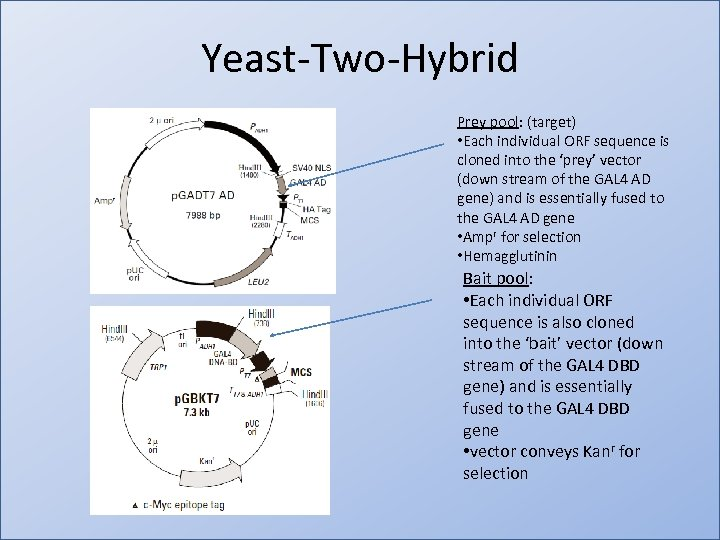 Yeast-Two-Hybrid Prey pool: (target) • Each individual ORF sequence is cloned into the 'prey'