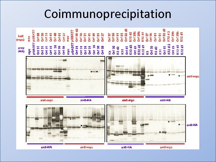 Coimmunoprecipitation