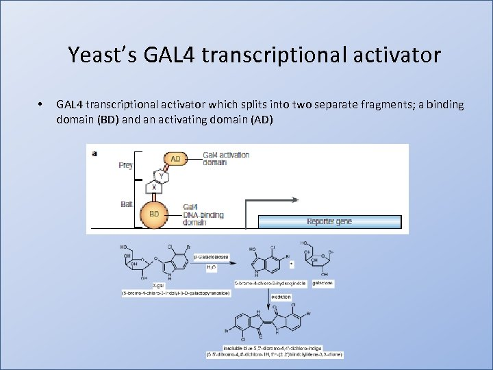 Yeast's GAL 4 transcriptional activator • GAL 4 transcriptional activator which splits into two