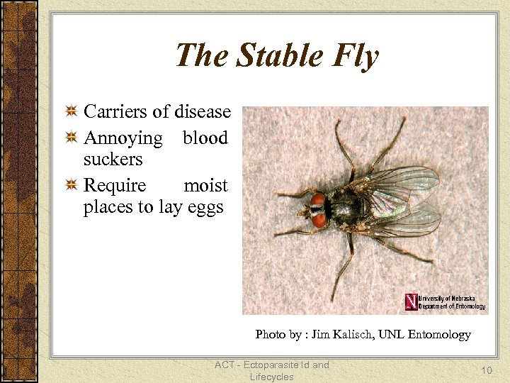 The Stable Fly Carriers of disease Annoying blood suckers Require moist places to lay