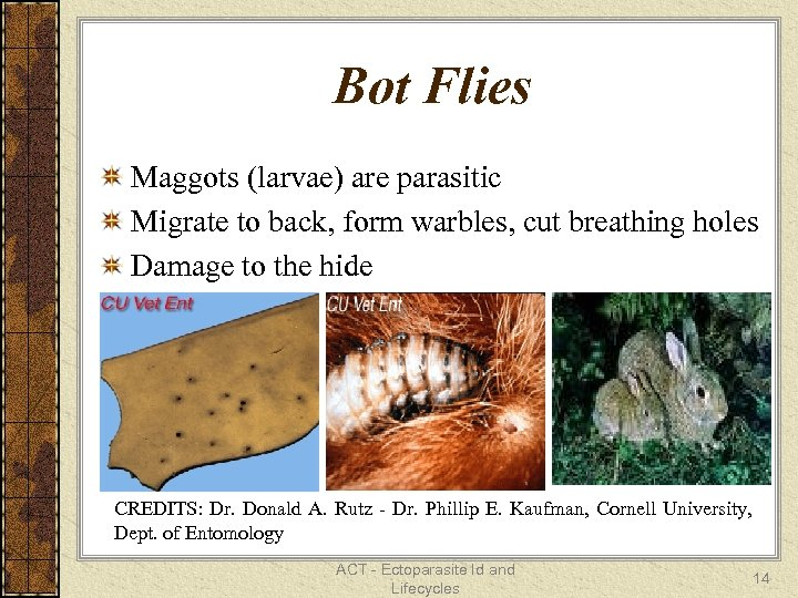 Bot Flies Maggots (larvae) are parasitic Migrate to back, form warbles, cut breathing holes