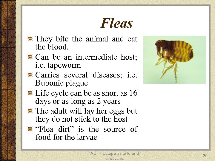 Fleas They bite the animal and eat the blood. Can be an intermediate host;