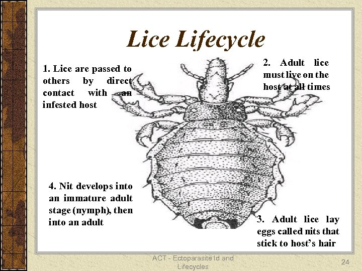 Lice Lifecycle 2. Adult lice must live on the host at all times 1.