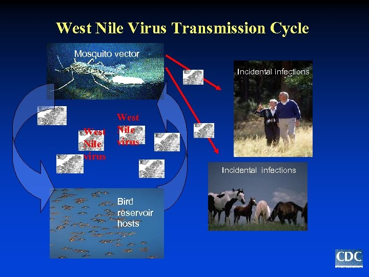 West Nile Virus Transmission Cycle Mosquito vector Incidental infections West Nile virus Incidental infections