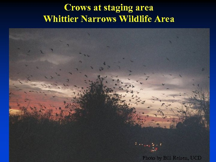 Crows at staging area Whittier Narrows Wildlife Area Photo by Bill Reisen, UCD
