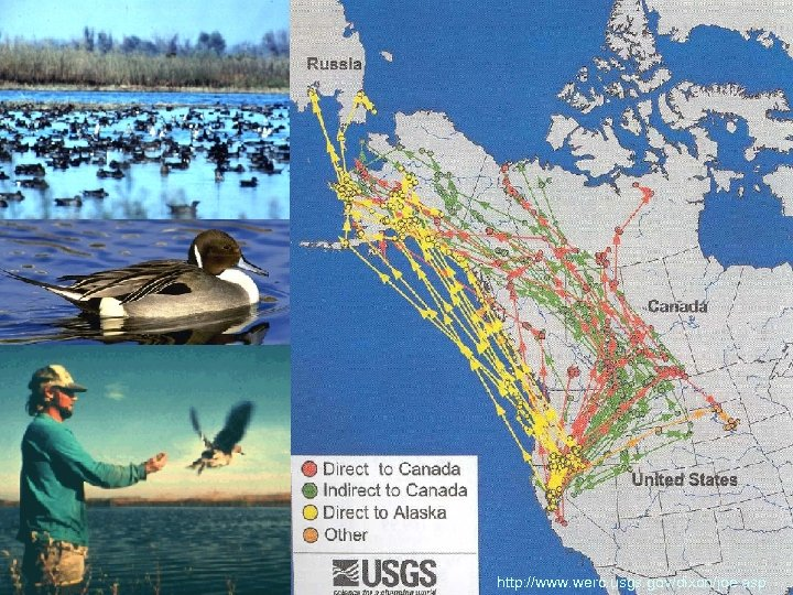 Pintail migration Russia Central San Joauin Valley http: //www. werc. usgs. gov/dixon/joe. asp