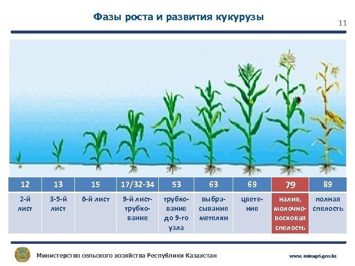 Фазы роста и развития кукурузы 12 13 15 17/32 -34 53 63 69 2