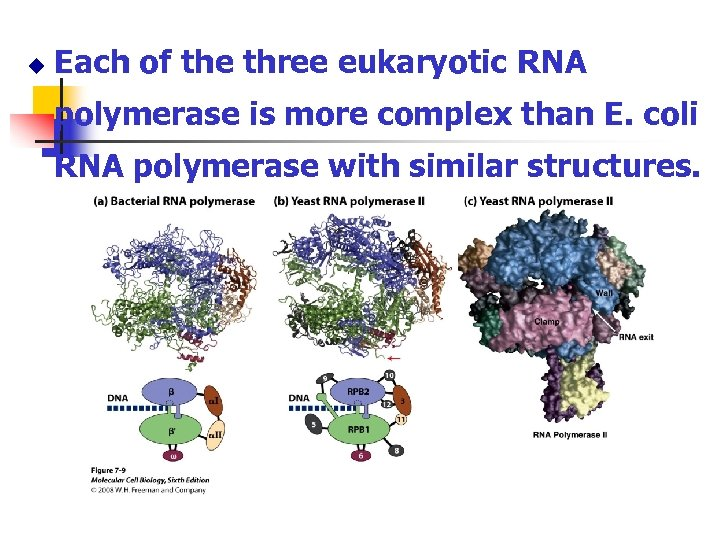 u Each of the three eukaryotic RNA polymerase is more complex than E. coli