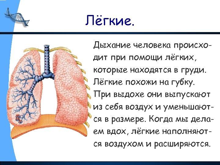 Лёгкие. Дыхание человека происходит при помощи лёгких, которые находятся в груди. Лёгкие похожи на