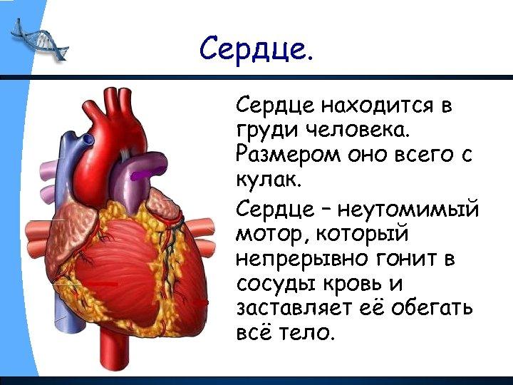Сердце находится в груди человека. Размером оно всего с кулак. Сердце – неутомимый мотор,