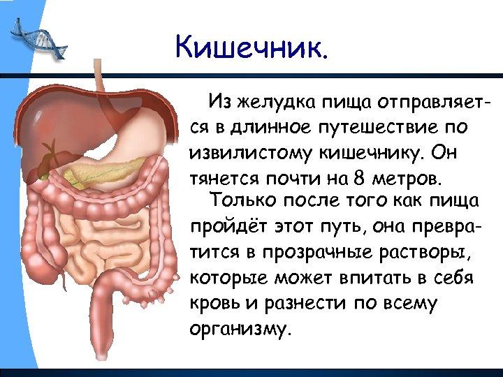 Кишечник. Из желудка пища отправляется в длинное путешествие по извилистому кишечнику. Он тянется почти