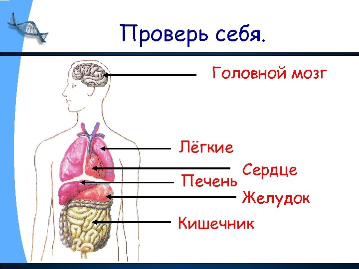 Проверь себя. Головной мозг Лёгкие Печень Сердце Желудок Кишечник
