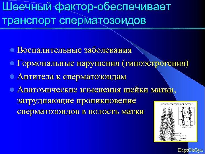 Шеечный фактор-обеспечивает транспорт сперматозоидов l Воспалительные заболевания l Гормональные нарушения (гипоэстрогения) l Антитела к