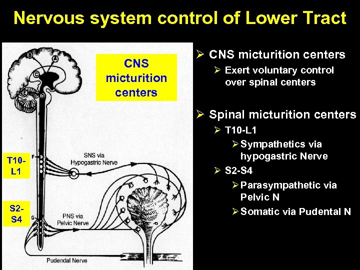 Nervous system control of Lower Tract CNS micturition centers Ø Exert voluntary control over