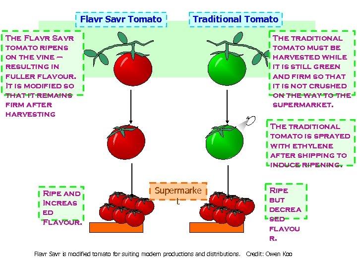 Flavr Savr Tomato Traditional Tomato The Flavr Savr tomato ripens on the vine –