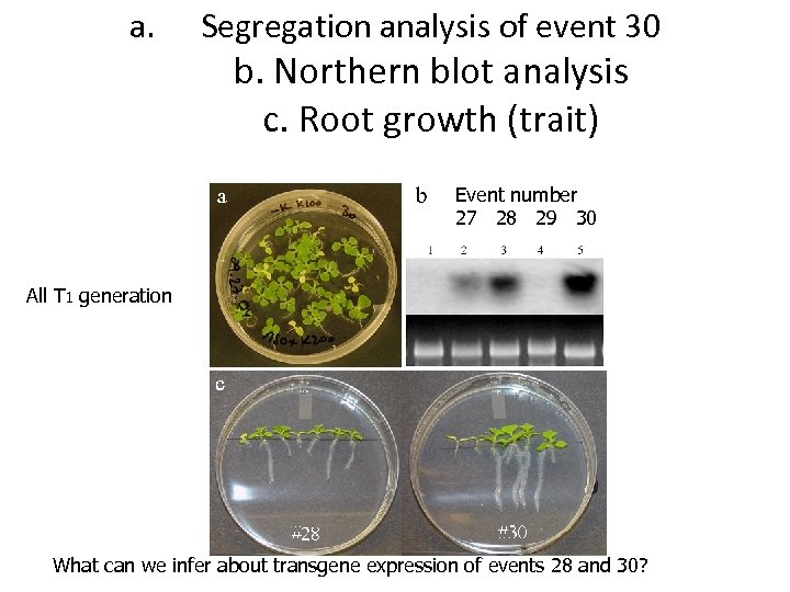 a. Segregation analysis of event 30 b. Northern blot analysis c. Root growth (trait)
