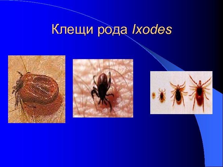 Клещи рода Ixodes