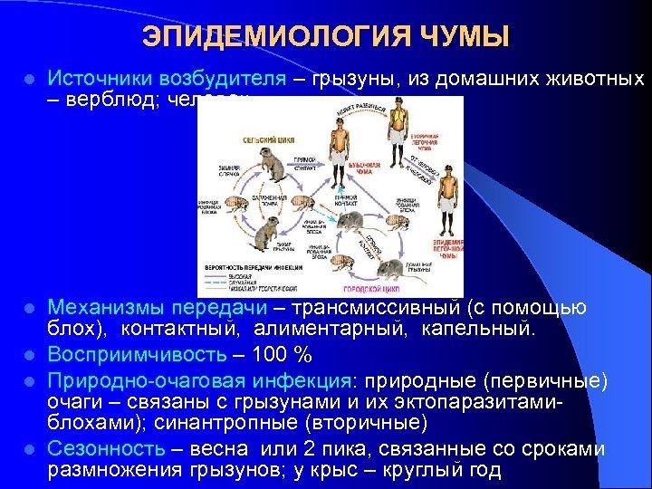 ЭПИДЕМИОЛОГИЯ ЧУМЫ l Источники возбудителя – грызуны, из домашних животных – верблюд; человек Механизмы