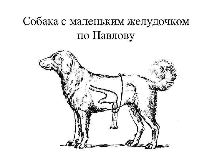 Собака с маленьким желудочком по Павлову