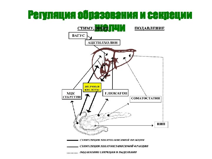 Регуляция образования и секреции желчи