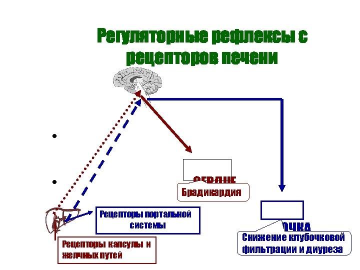 Регуляторные рефлексы с рецепторов печени • • • СЕРДЦЕ Брадикардия Рецепторы портальной системы Рецепторы