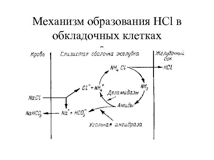 Механизм образования HCl в обкладочных клетках